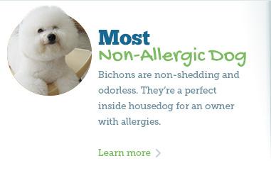 Hypoallergenic Dogs - Fort Lauderdale Bichon Frise Puppy ...